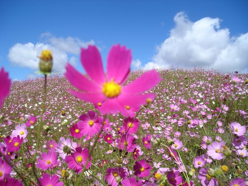 alpa-corral-las-lagunitas-flores-cosmos-5