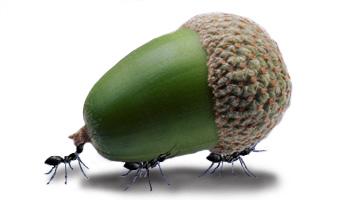 acorn_ant2[1]