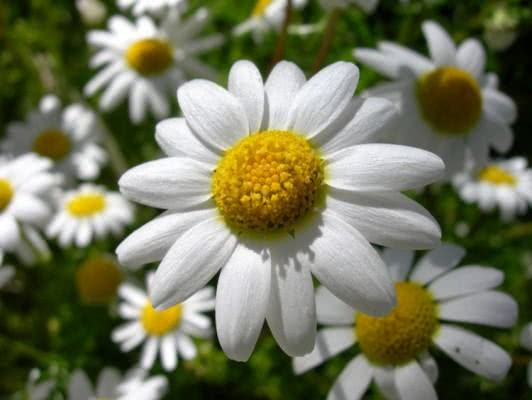 flor-de-camomila